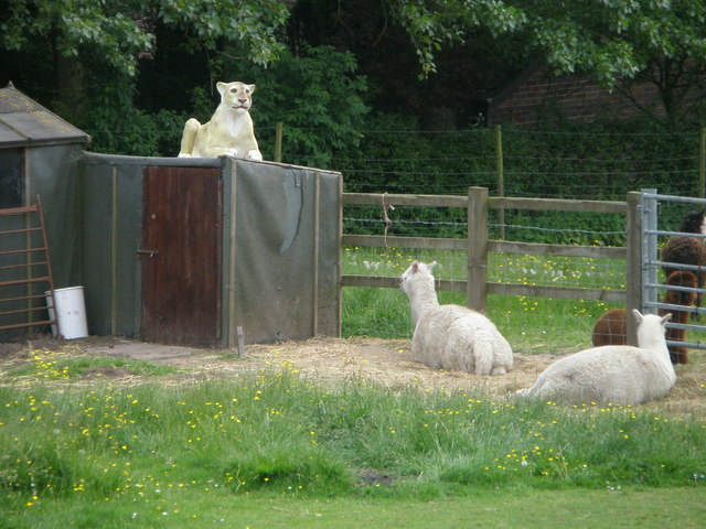 Lioness and Llamas