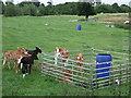 SJ8466 : Calves in field by Gethin Evans