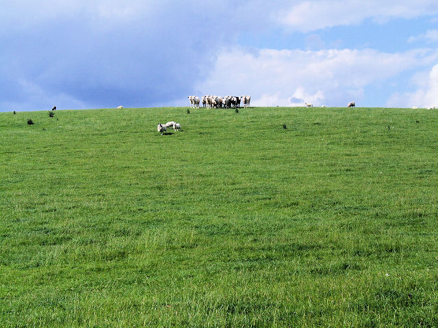 Cows atop Banner Hill