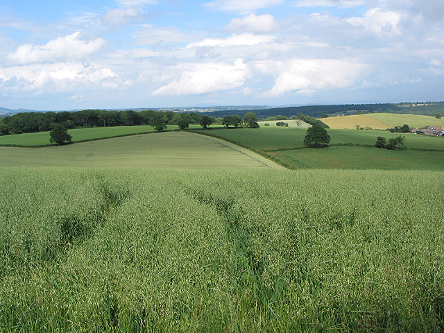 Oat crop, Linton Hill