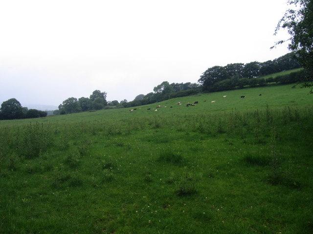 Gwartheg mewn cae ger Tyncelyn / Cattle in field near Tyncelyn
