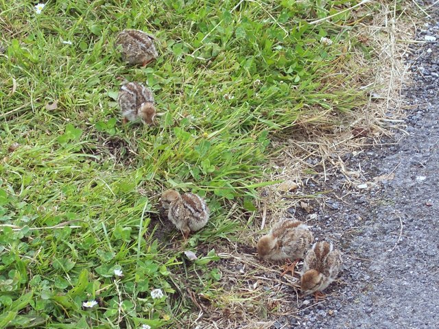 Red-legged Partridge chicks (Alectoris rufa)