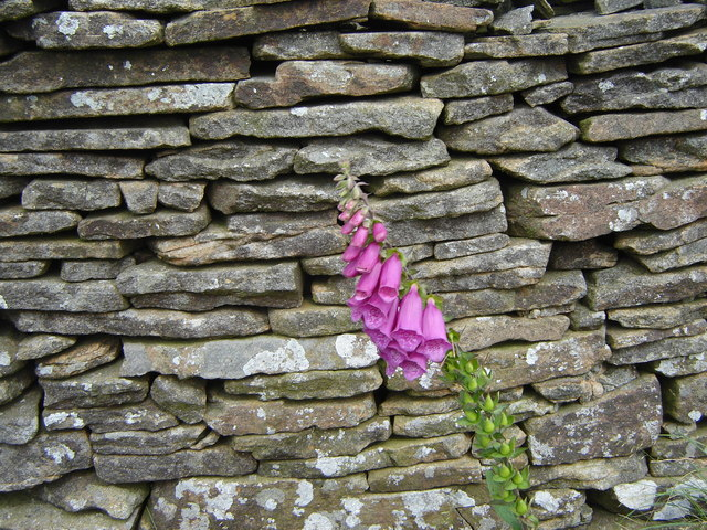 Dry stone wall, with foxglove