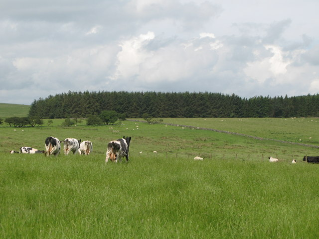 Torney's Fell Plantation and cows' bums