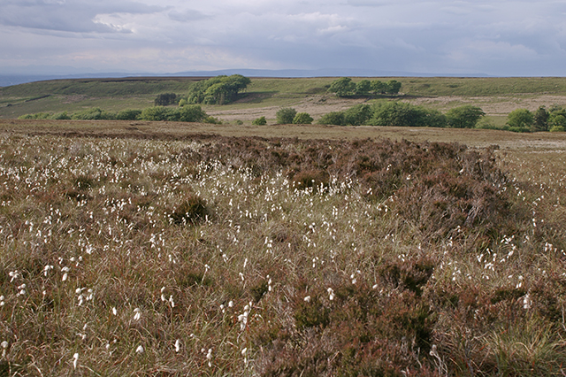 Cotton Grass on Anglezarke Moor