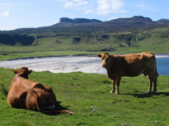 Cattle above Laig beach