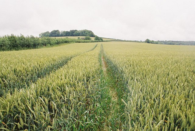 Cornfield on Bloxworth Down
