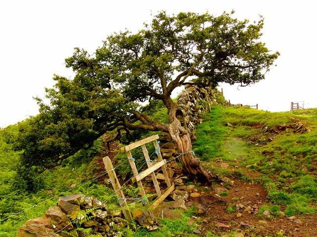 Hawthorn bush and dyke