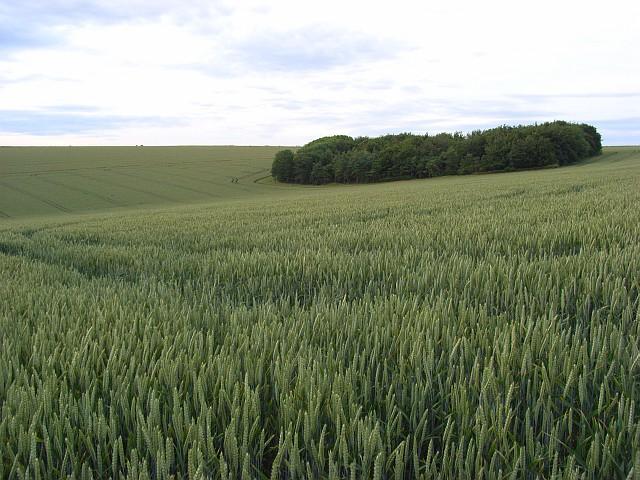 Wheat, Steeple Langford