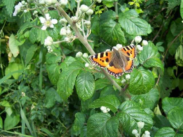 Tortoiseshell butterfly on a stroll by the old Westport canal