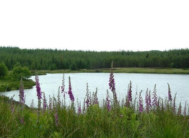 Foxgloves By Loch Goosey