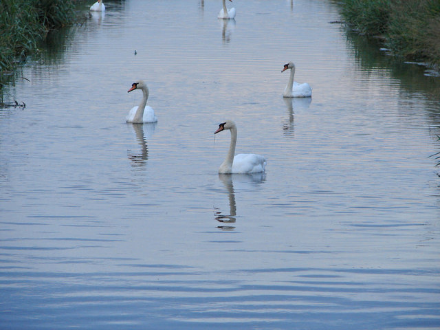 Three Fine Swans
