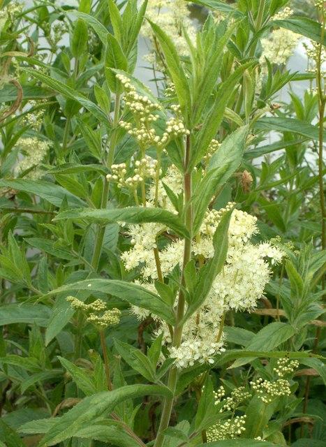 Meadow Sweet (Filipendula ulmaria)