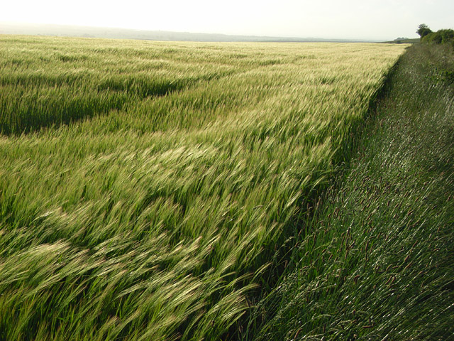 Barley, Aldworth