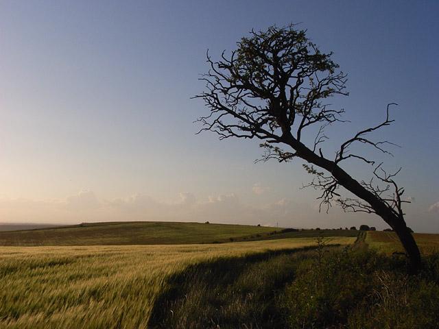 Hawthorn and barley, Aldworth