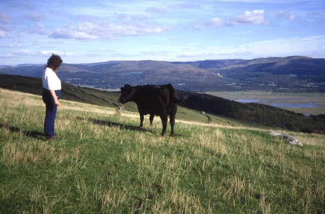 Friendly bullock on the Aberdyfi Panorama Walk