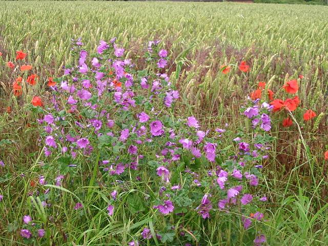 Mallow and poppies at edge of wheat field