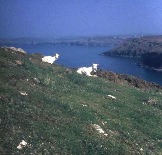 Goats on Doyden Point