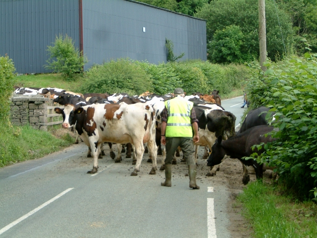 Cows Ahead