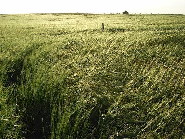 Barley, Lowbury Hill