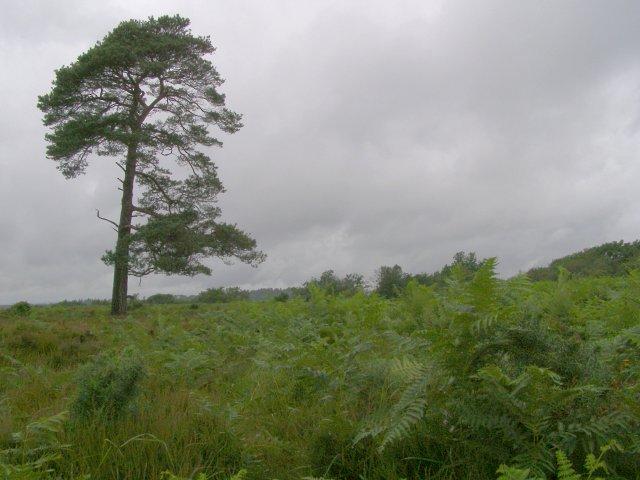 Heathland on Fritham Plain, New Forest