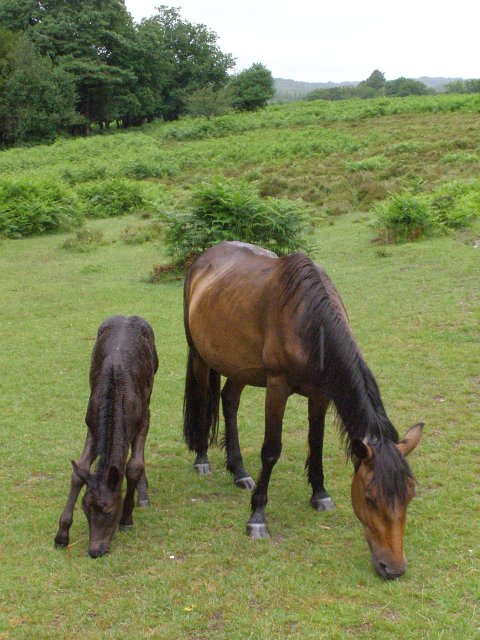 Wet ponies on the edge of Fritham Plain, New Forest