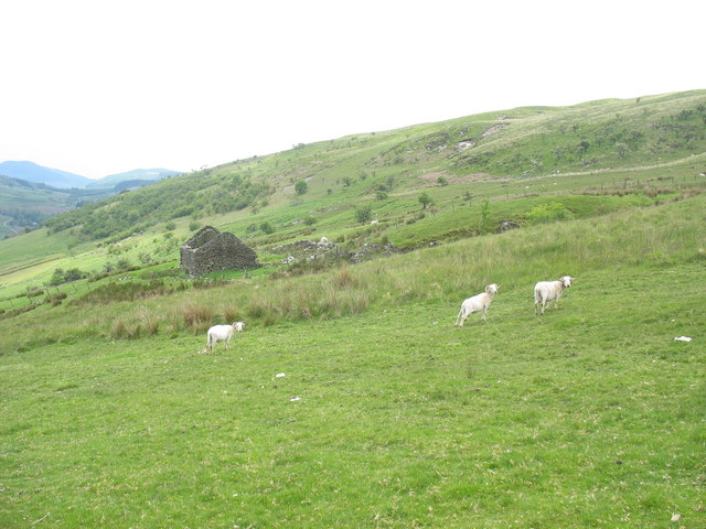 Shorn sheep and roofless barn at Bryn-llin-fawr
