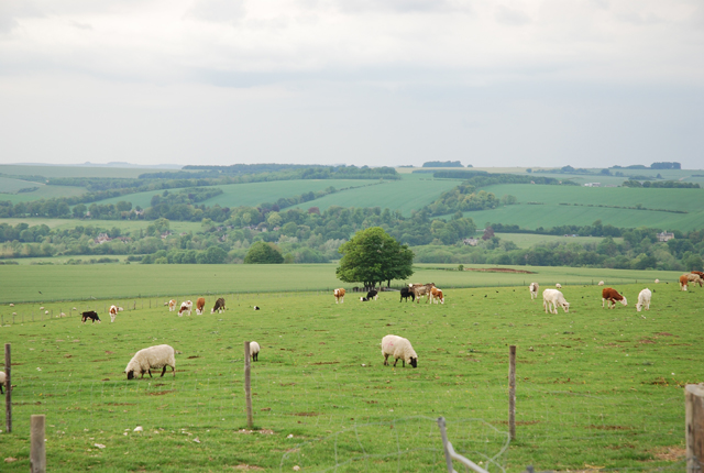 Sheep and cows on Wylye Down