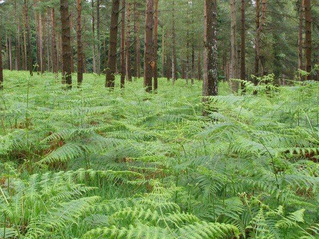 Bracken beneath the pines, Alderhill Inclosure, New Forest