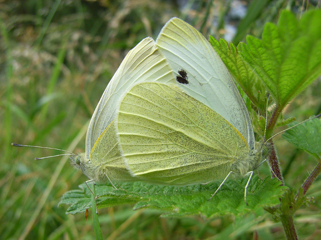 A pair of large whites