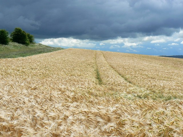 A field of barley, near Hackpen White Horse