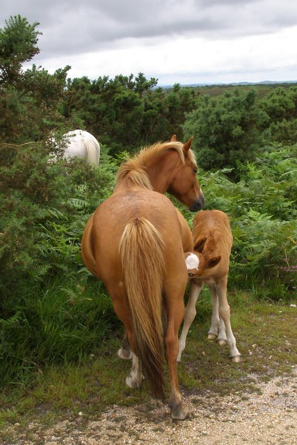 Foal suckling, Hampton Ridge, New Forest