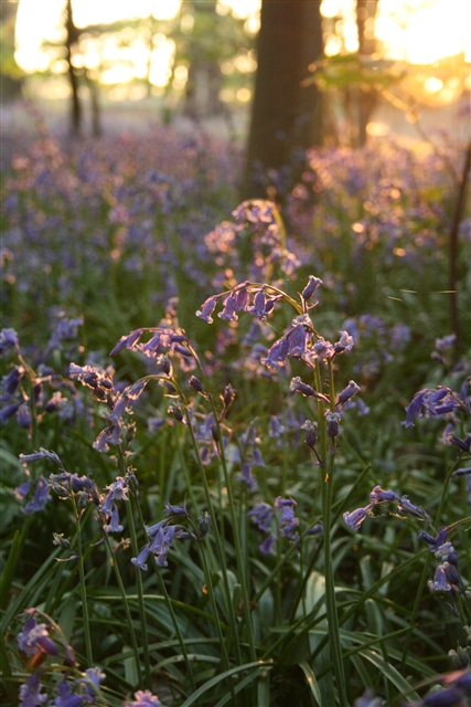 Bluebells, Sisland Carr