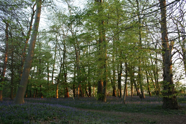 Trees and bluebells, Sisland Carr