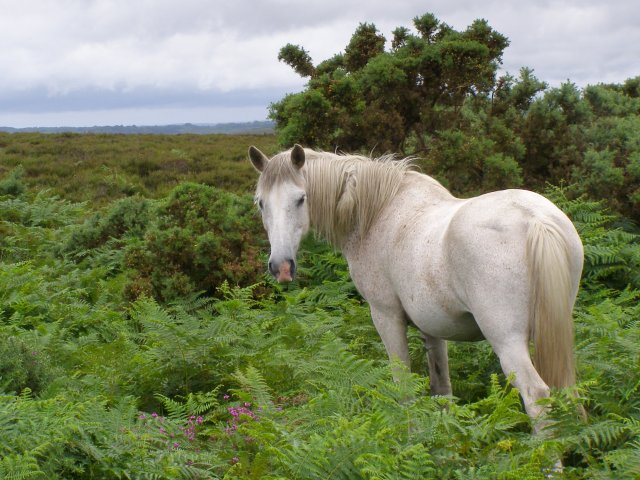 Pony on Hampton Ridge, New Forest