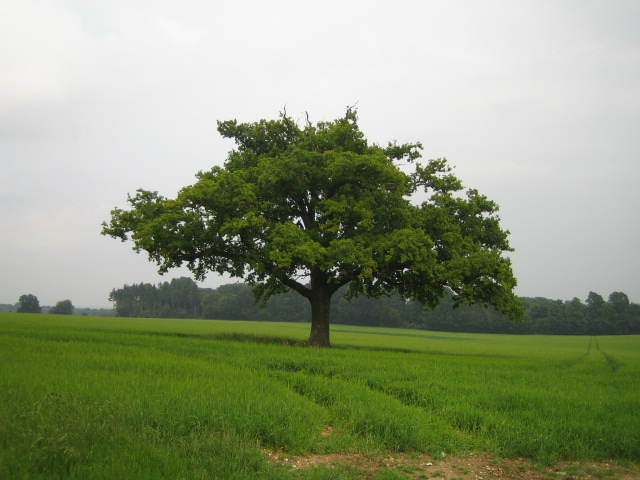 Oak tree near East Tytherley 2