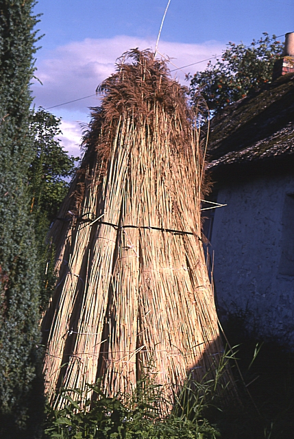 Reeds for Thatching