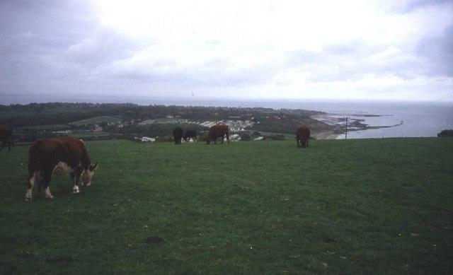 Cattle grazing on Culver Down