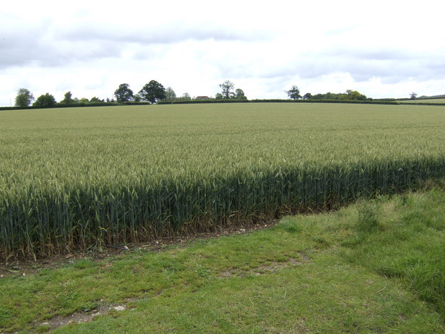 Wheat fields east of Creeting St. Peter