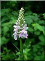 SK5243 : Common Spotted Orchid (Dactylorhiza fuchsii) by Lynne Kirton