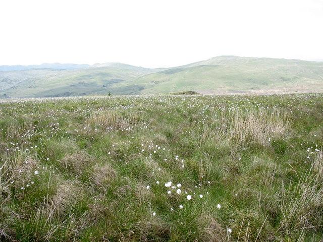 A sea of cotton grasses