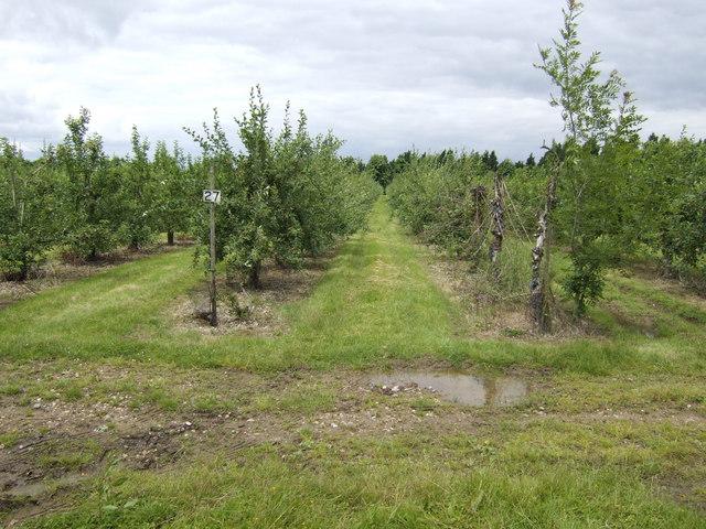 Apple orchards at Leavenheath