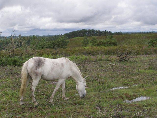 Pony grazing on Hampton Ridge, New Forest