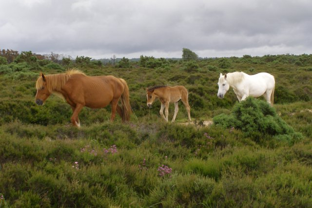 Ponies on Hampton Ridge, New Forest