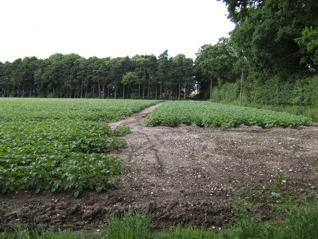 Potato field at Spicer's Corner