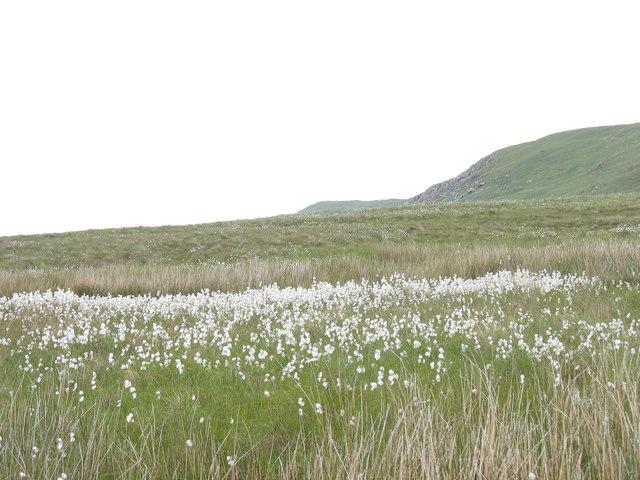 Cotton grass in a wet ffridd below Cefn Glas