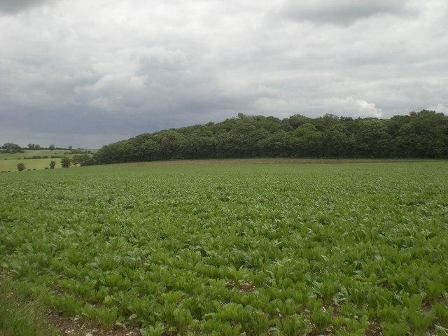 Chalk Hill Plantation across beet
