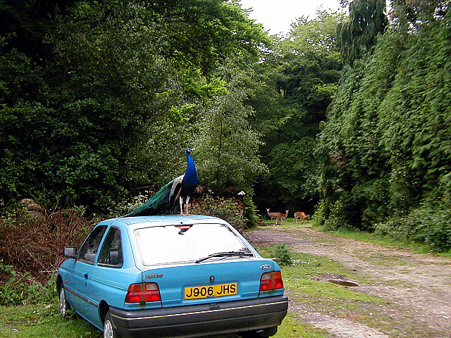 Peacock & Escort at Long Beech