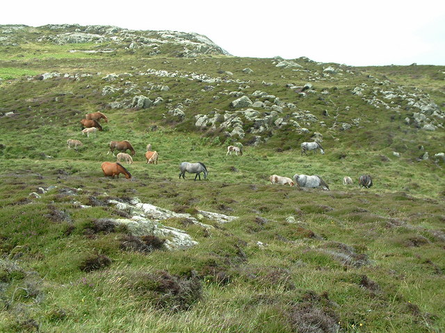 Ponies grazing at St David's Head