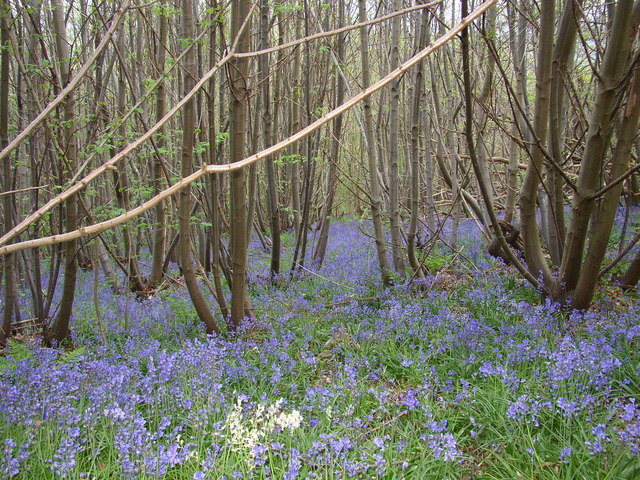 Bluebells on One Tree Hill